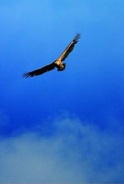 Vulture in Seville's Sky